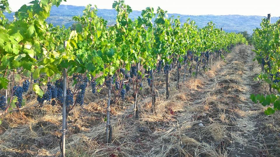 vigne CON(senso) wine